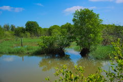 Mangrove trees. Royalty Free Stock Photography