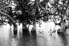 Mangrove trees. Picture of mangrove trees in black and white Royalty Free Stock Photo