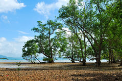 Mangrove trees and roots Royalty Free Stock Image
