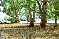 Mangrove trees and roots Royalty Free Stock Photos