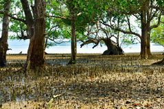 Mangrove trees and roots Stock Images