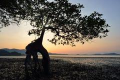 Mangrove trees silhouette Royalty Free Stock Photo