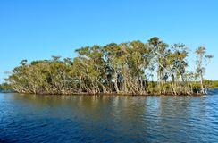 Mangrove trees in Queensland, Australia. Mangrove trees on South Stradbroke Island in Queensland, Australia royalty free stock images