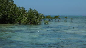Mangrove trees Stock Images