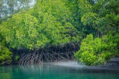 Free Mangrove Trees, Sundarban, West Bengal, India Stock Photos - 171725443