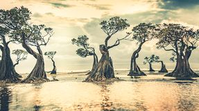 Mangrove trees at the sunset. Sumba island. royalty free stock images