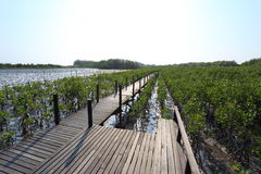 Mangrove trees of Thung  Prong Thong forest Stock Images