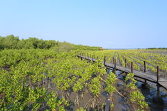 Mangrove trees of Thung  Prong Thong forest Stock Photos