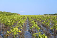 Mangrove trees of Thung  Prong Thong forest Royalty Free Stock Photography