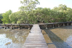 Mangrove trees of Thung  Prong Thong forest Royalty Free Stock Image
