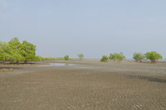 Mangrove trees on the tidal flat Stock Image