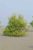Mangrove trees on the tidal flat Royalty Free Stock Image