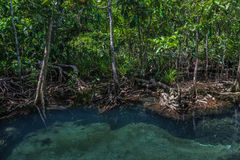 Mangrove trees with the turquoise green water stream. Krabi, Thailand Royalty Free Stock Images