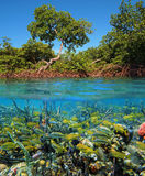 Mangrove and Tropical fish Stock Photo