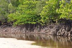 Mangrove Royalty Free Stock Photos