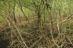 Mangrove Trunks and Roots Royalty Free Stock Image