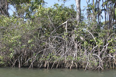 The mangrove. A type of forest formed in the meeting of fresh water with salt water, has a soil with the consistency of sludge; the trees, so as not to fall Stock Photo