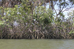The mangrove Royalty Free Stock Images