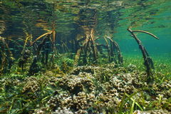 Mangrove underwater with coral and fish in roots Royalty Free Stock Image