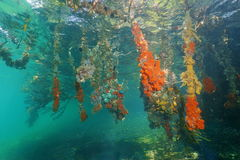 Mangrove underwater roots with colorful sea sponge Royalty Free Stock Photo