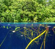 Mangrove up down waterline real ecosystem. Organic algae in suspension Royalty Free Stock Photography