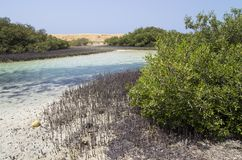 Mangrove vegetation in the Sinai. Peninsula Royalty Free Stock Photography