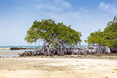 Mangrove vegetation. Mangrove tree with croocked roots on a beach Royalty Free Stock Photo