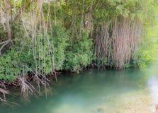 Mangrove - Views around Otrobanda Royalty Free Stock Photo