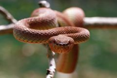 Mangrove viper, snake, viper snake. Mangrove snake on branch, closeup stock photo