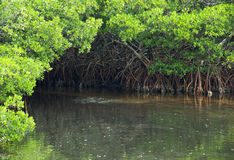 Mangrove Water Nook Stock Photo