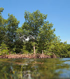 Mangrove from water surface Stock Images