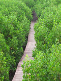 Mangrove Way Royalty Free Stock Photography