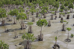 Mangrove young plants Royalty Free Stock Photos