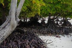 Mangrove Zanzibar, Tanzania, Februari 2019 royaltyfri foto