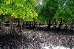 Mangrove Zanzibar, Tanzania, Februari 2019 arkivfoto