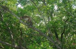 Mangroveaap op boom Stock Afbeeldingen