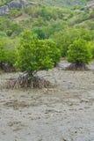 Mangrovebaum Stockbild