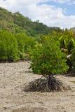 Mangrovebaum Lizenzfreie Stockbilder