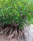 Mangrovebaum stockfoto