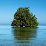 Mangrovebaum auf dem Indischen Ozean Stockbild