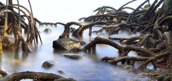 Mangrovebaumwaldsumpfwurzeln Stockfotografie