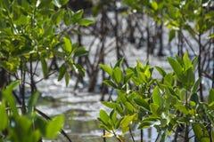 Mangrovebomen stock afbeeldingen