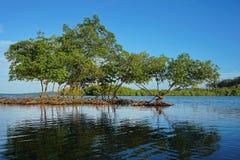 Mangrovebomen in het water Caraïbische overzees Panama Stock Foto's