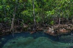Mangrovebomen met de turkooise groene waterstroom Royalty-vrije Stock Afbeeldingen