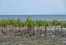 Mangrovebomen op het strand van Beqa-Eiland, Fiji stock fotografie