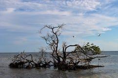 Mangroveboom Stock Foto