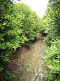 Mangroveboom Stock Foto's
