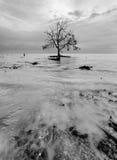 Mangroveboom Stock Fotografie