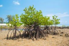 Mangroveboom bij het kust overzeese strand Stock Afbeeldingen
