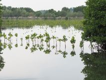 Mangroveboom in intertidal bosbezinning in het water stock afbeelding